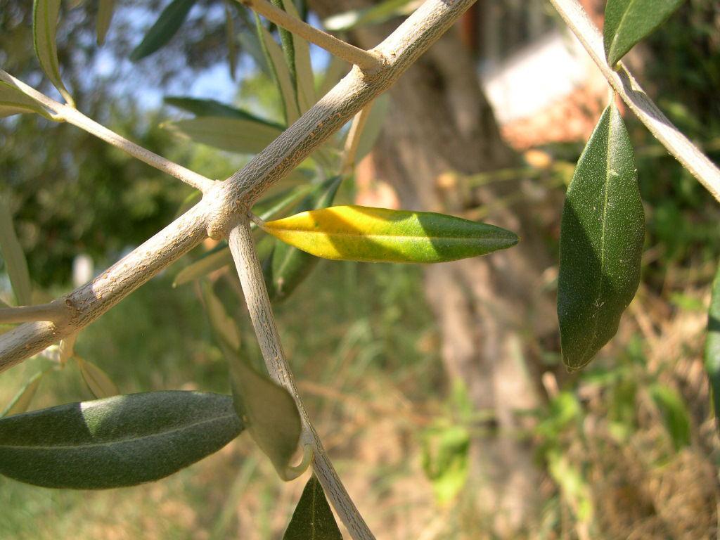 Olive-stem