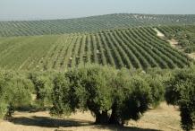 Olive-farm