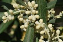 Olive-flower-buds