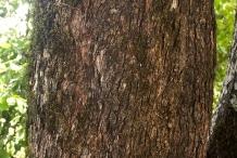 Olive-bark