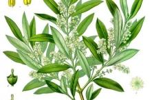 Olive-illustration