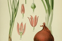 Illustration-of-Onion-plant