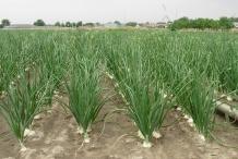 Onion-farm