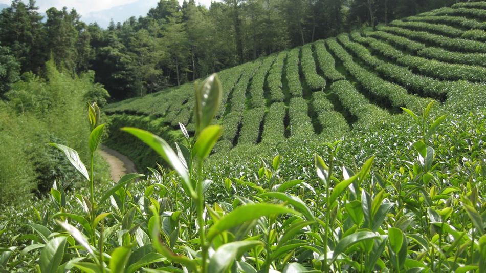 Oolong-tea-farm-Camellia theifera