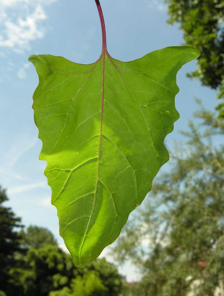 Leaf-of-Orach