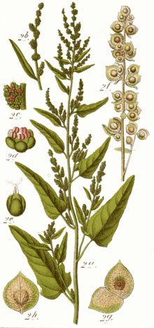 Plant-illustration-of-Orach
