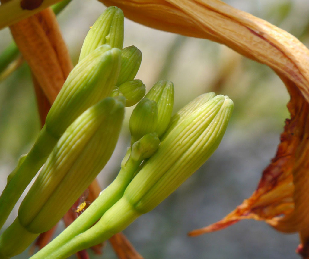 Flowering-buds-of-Orange-Daylily