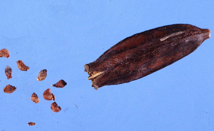 Fruit-and-seeds-of-Orange-Daylily