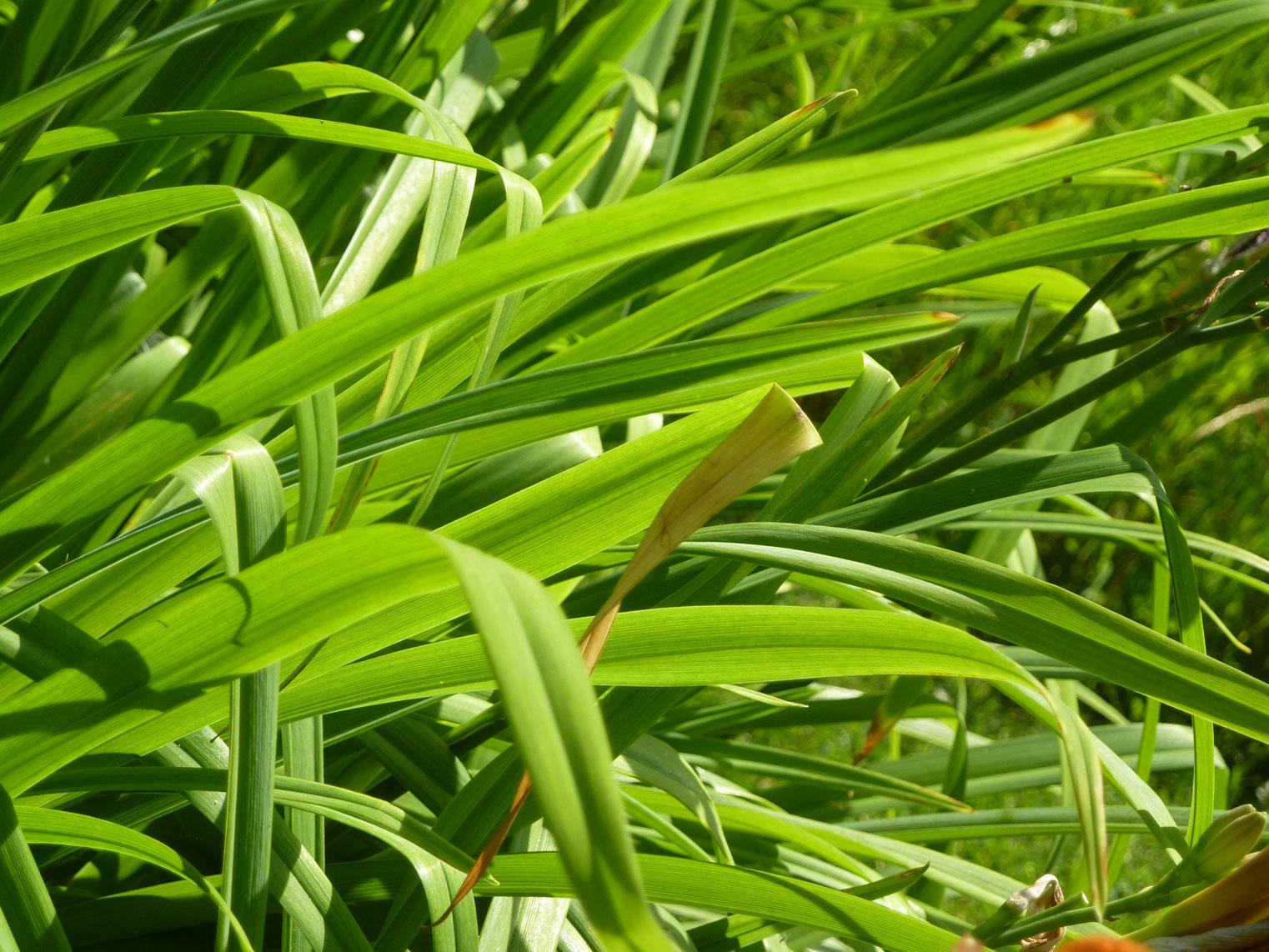 Leaves-of-Orange-Daylily
