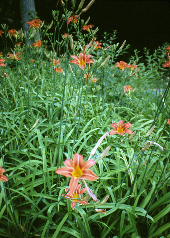 Orange-Daylily-Plants-growing-wild