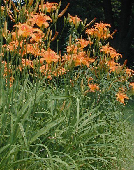 Orange-Daylily-plant