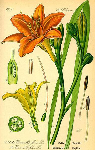 Plant-Illustration-of-Orange-Daylily