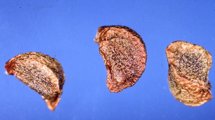 Seeds-of-Orange-Daylily