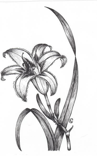 Sketch-of-Orange-Daylily