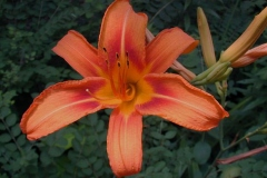 Flower-of-Orange-Daylily