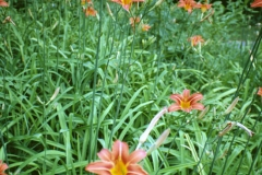 Orange-Daylily-Plants-growing-wild