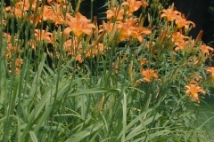Orange-Daylily-plant