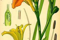 Plant-Illustration-of-Orange-Daylily