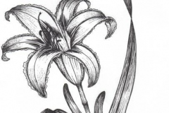 Sketch-of-Orange-Daylily