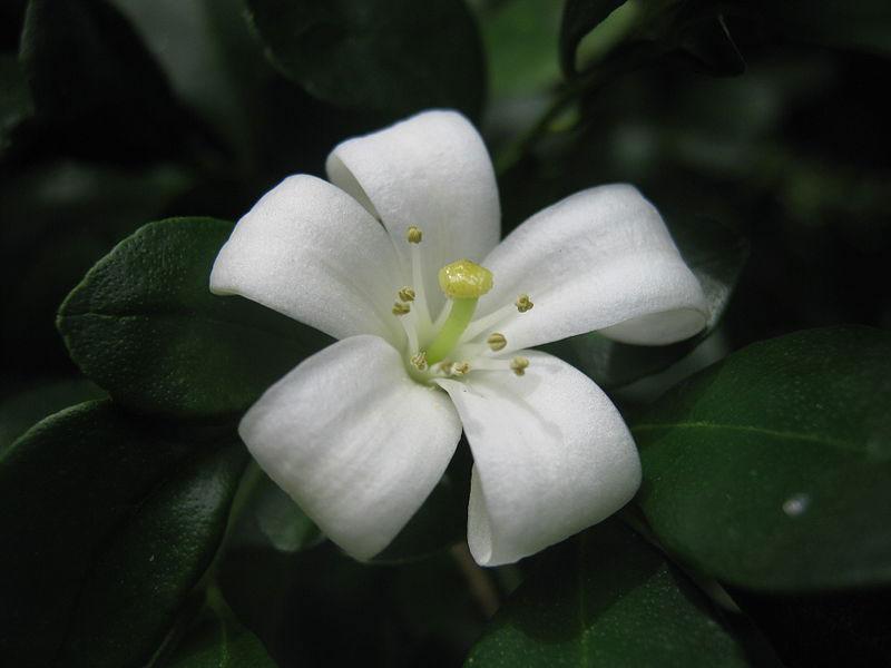 Closer-view-of-flower-of-Orange-Jasmine
