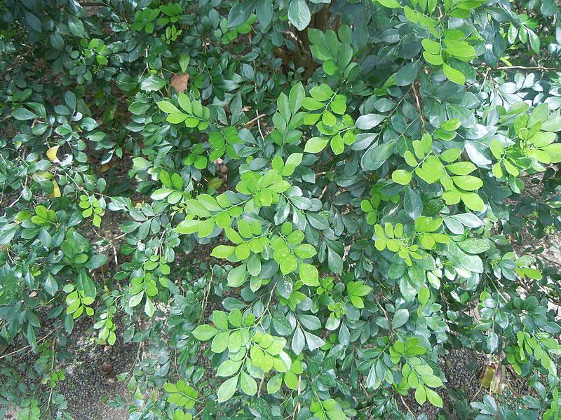 Leaves-of-Orange-Jasmine