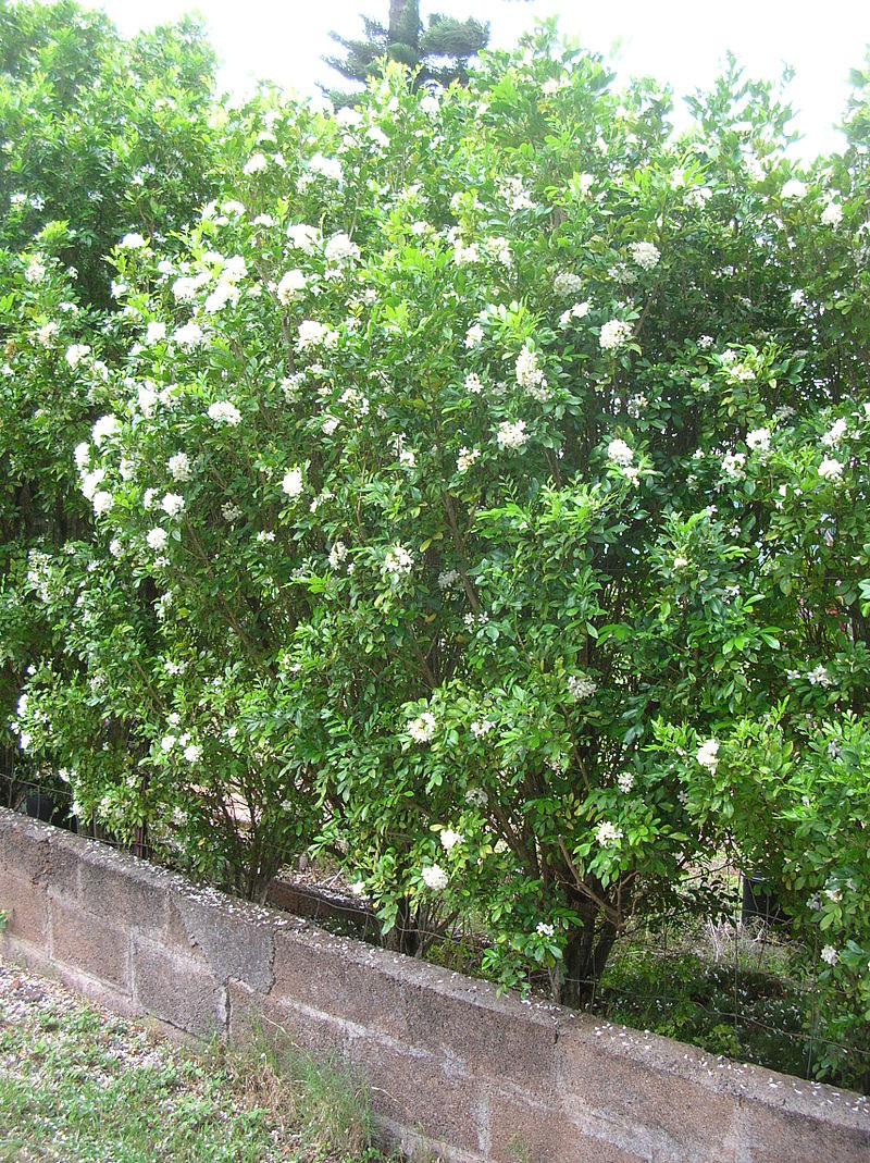 Orange-Jasmine-Plant