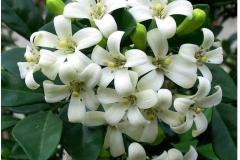 Flowers-of-Orange-Jasmine