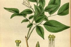 Plant-Illustration-of-Orange-Jasmine
