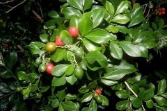 Ripe-and-unripe-Orange-Jasmine-fruits-on-the-plant
