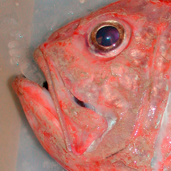 Eye-of-Orange-Roughy