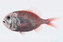 Orange-Roughy-2