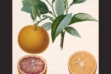 Illustration-of-orange