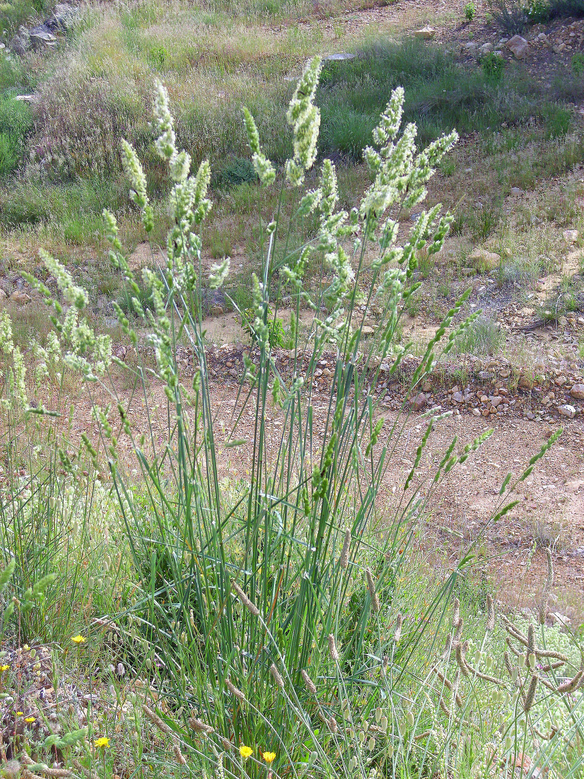 Orchard-grass-plant