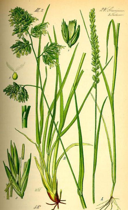 Plant-Illustration-of-Orchard-grass