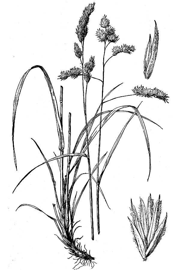 Sketch-of-Orchard-grass