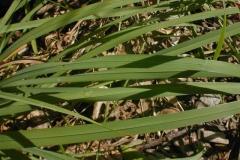 Leaf-blades-of-Orchard-grass