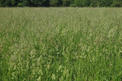 Orchard-grass-plant-growing-wild