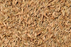 Seeds-of-orchard-Grass
