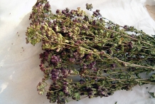 Dried-Oregano-plant