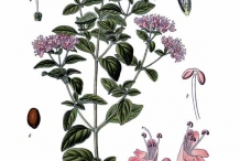 Plant-illustration-of-Oregano
