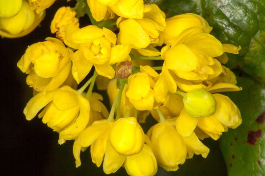 Closer-view-of-Oregon-Grape-flowers