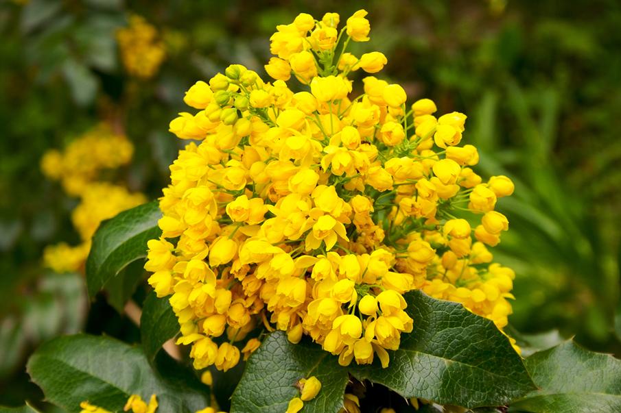 Flowers-of-Oregon-Grape