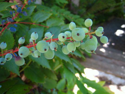 Green-berries-of-Oregon-Grape