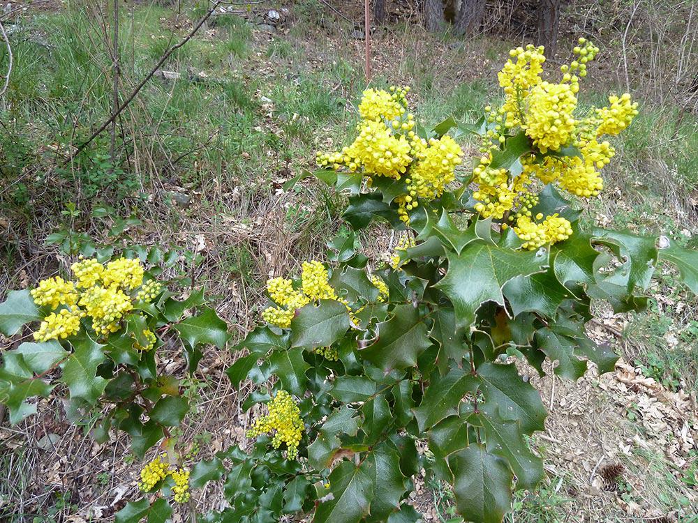 Oregon-Grape-plant