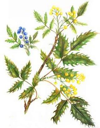 Plant-Illustration-of-Oregon-Grape