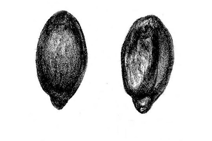 Seeds-of-Oregon-Grape