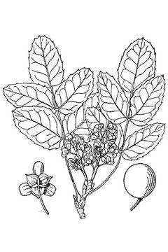Sketch-of-Oregon-Grape