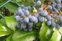 Mature-Fruits-of-Oregon-Grape