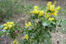 Oregon-Grape-plant