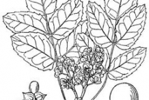 Sketch-of-Oregon-Grape